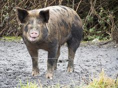 These Pig Jokes Will Make You Squeal!- Why did the three little pigs fall asleep when their grandfather started talking? Grandpa was a boar! - See more at: http://mirthinablog.com/2015/08/24/these-pig-jokes-will-make-you-squeal/#sthash.FhJLHBVF.dpuf