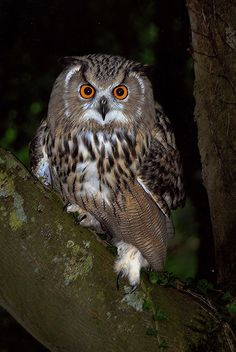 Eagle Owl at Dusk by Ronald Coulter*