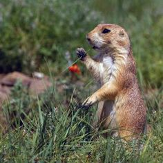 Prairie Dog Town - Lubbock, Texas     Terry use to go to the prairie dog town in Snyder texas I remember visiting there to