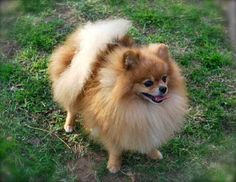 Marvelous Pomeranian Does Your Dog Measure Up and Does It Matter Characteristics. All About Pomeranian Does Your Dog Measure Up and Does It Matter Characteristics. Fluffy Animals, Baby Animals, Cute Animals, Cute Puppies, Cute Dogs, Dogs And Puppies, Jiff Pom, Sweet Dogs, Cute Pomeranian