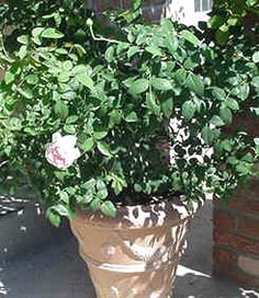 To accommodate a hybrid tea, large floribunda, grandiflora or shrub rose a 15-gallon pot is recommended. One of the smaller floribundas would be quite happy in a 10-gallon pot, while most miniatures fit well in the 4- or 5-gallon size