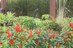 Our Poinsettia ornamental peppers by one of the pergolas --peppers for decoration AND to eat and keep!
