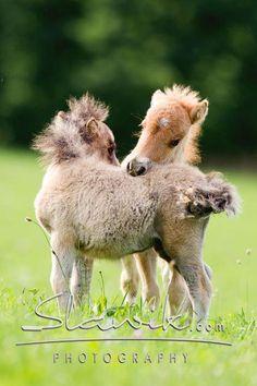 Miniature horse colts