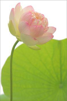 Lotus Flower - DD0A0100-1000 | Flickr - Photo Sharing!