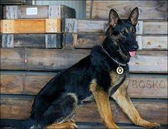 K9 Bosko , Sacramento Police canine association