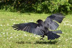 People like grapes Group Of Crows, Blackbird Singing, American Crow, Crow Bird, Crows Ravens, Blackbirds, Rabe, Garden Sculpture, Night