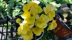 Continuously flowering mounded annual.  Lasts until first frost.  Perfect as a…