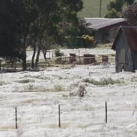 To some people, it seemed like it was raining spiders. Millions of baby spiders filled the sky in southeastern Australia.