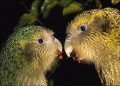 The Kakapo ( Strigops habroptilus ) is a species of nocturnal parrot endemic to New Zealand , notable for being the only species of Psittaciformes unable to fly . The kakapo is a bird in critical danger of extinction , with a total population of only 86 copies , all monitored by científicas.as teams)