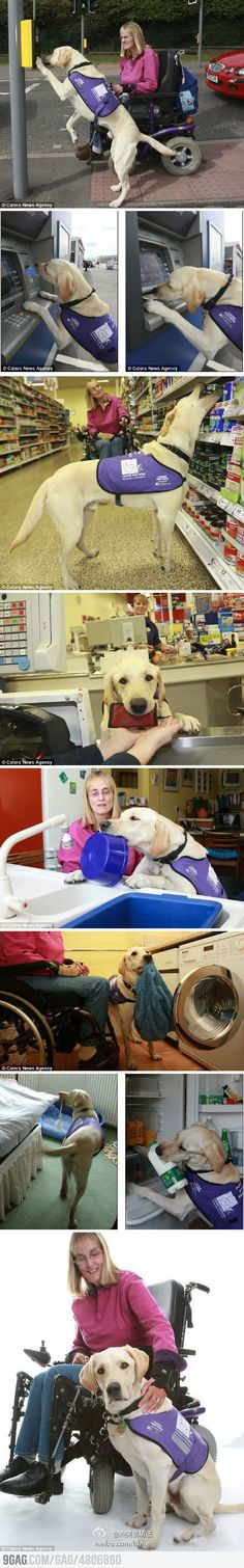 Son lo mejor... I would so love to get a guide dog. Really amazing what they are able to  for those of us in wheelchairs, or ppl who have issues walking in general.