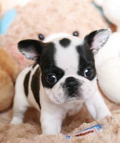 Teacup French Bulldog Black - iwate-kokyo