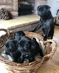 3 Important Things to Remember When Training Your Puppy Cute Pugs, Cute Puppies, Pugs For Sale, Animals Beautiful, Cute Animals, Black Pug Puppies, Pugs And Kisses, Paws And Claws, Training Your Puppy