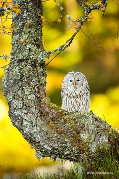 Beautiful photo of a Ural Owl (Strix uralensis) by Peter Krejzlovi -