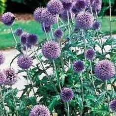 Globe Thistle Flowers Are In Shades Of Purple And Blue They Measure Up To 1