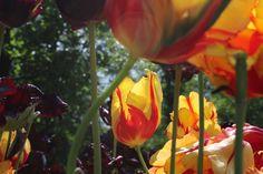 Tulpen, Keukenhof.