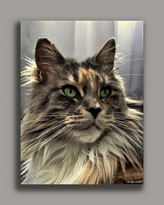 Beautiful Maine Coon. http://www.cat-lovers-only.com/big-maine-coon-cat.html Source: http://www.flickr.com/photos/brammetje/3906913486/
