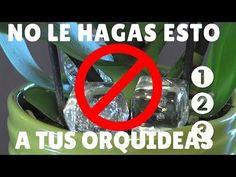 ORQUIDEAS - Separar KEIKI de la PLANTA MADRE - Para qué la CANELA? - 1/2 - YouTube
