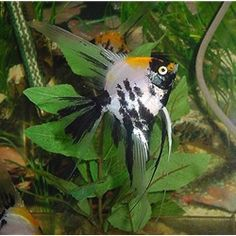Gold Spot angelfish: Marble Variety