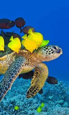 Summary: To start Tropical fish stores can be an exciting prospect. Many tropical and salt water fish lover's dream about how to make it big in this exciting Tropical fish stores business. Beautiful Sea Creatures, Animals Beautiful, Cute Animals, Hawaiian Sea Turtle, Baby Sea Turtles, Turtle Love, Wale, Underwater Life, Deep Blue Sea