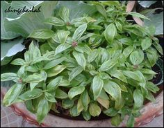 I was first introduced to Basil plants by my ex-classmate many years ago when I visited her at her home in Taiping. I brought back many typ. Taiping, Basil Plant, Vegetables, Simple, Garden, Plants, Veggies, Lawn And Garden, Vegetable Recipes