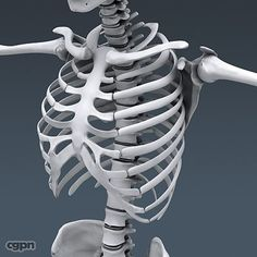 Human Skeleton - Anatomy - 3d model - CGStudio
