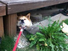 【散歩拒否】だだをこねる犬が可愛すぎる!!【帰宅拒否】 - NAVER まとめ