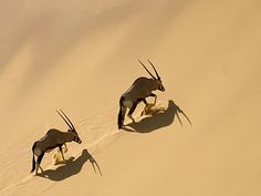 Skeleton Coast: Oryx Climbing The Hoarusib Dune Wall by namibian.org #Oryx #Namibia #namibian_org