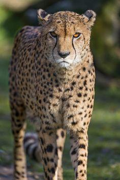 Serious cheetah