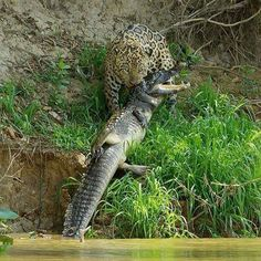 Meet scarface, a huge male jaguar who lives in Brazil's northern Pantanal. He specialises in hunting caiman, South America's equivalent of a crocodile. Just moments earlier, he had launched off the top of this river bank to kill this huge caiman. Nature Animals, Animals And Pets, Funny Animals, Cute Animals, Wildlife Nature, Baby Animals, Wild Nature, Big Cats, Predator