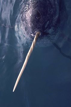 A narwhal floating just under the water's surface shows off its ivory tooth in northwest Greenland.