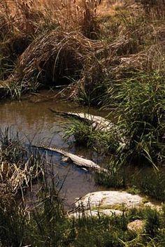 Hagerman, Idaho, Alligators