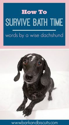 How To Survive Bath Time Words From A Wise Dachshund Dachshund