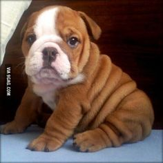 Bulldog puppy. All I need in my life to be happy
