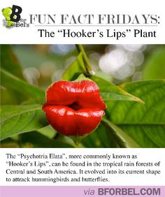 "Fun Fact Fridays: ""Hooker's Lips"" Plant #interesting #travel #funny"