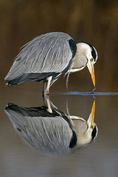Heron and his reflection by sergio luzzini on 500px.com