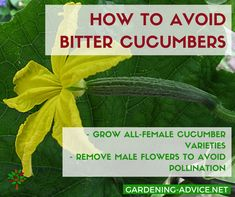 Vegetables Gardening How To Avoid Bitter Cucumbers - Growing Cucumbers is quite easy and well worth it. Garden Tips on how to grow the healthiest cucumber plants and the best cucumber varieties. Cucumber On Eyes, Cucumber Plant, Edible Garden, Easy Garden, Organic Vegetables, Growing Vegetables, Gardening Vegetables, Growing Tomatoes, Organic Gardening