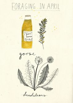 Some illustrations from my foraging guide.