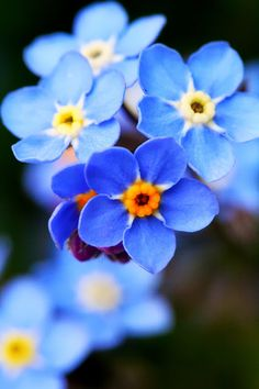Blue flowers ~ so pretty! Forget me nots!