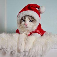 fjarilflickans's photo on Instagram Christmas Ragdoll cat Santa
