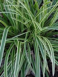 carex evergold - Google Search