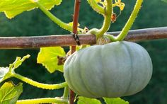 Article: A quick guide to growing squash and pumpkins