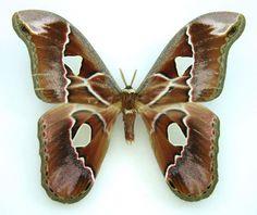 atlas moth Rothschildia lebeau SET TS M x1 A1- saturniidae lepido Costa rica | eBay