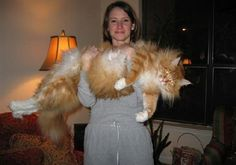 This photo made the email rounds many years ago - probably the early to mid 00's. Haven't seen it in probably that long too!  I love this cat! It must be a Maine Coon!