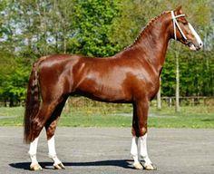 KWPN Dutch Harness Horse stallion, Artiflex.