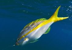 South Atlantic Fishery Management Council is proposing to increase the total annual catch limit for yellowtail snapper from 2 million pounds and change to just over 3 million pounds (roughly divided between recreational and commercial fishermen).