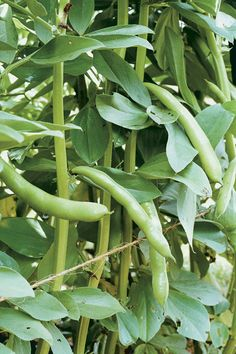 How to Grow Favas, the Cool-Season Bean.  KitchenGardener Magazine.  This meaty, Old World legume is long on flavor.