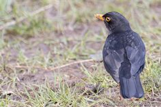 Common Blackbird (Male) (Turdus Merula) | Flickr - Photo Sharing!
