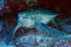green sea turtle sea ocean