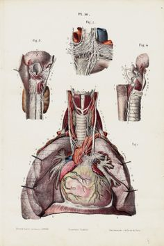 1853 Antique ANATOMY print fine anatomy by TwoCatsAntiquePrints, $36.00