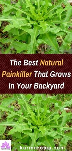 Similar to Opium-The Best Natural Painkiller That Grows In Your Backyard. It often called wild lettuce, bitter lettuce, laitue vireuse, opium lettuce, poisonous lettuce, tall lettuce, great lettuce or rakutu-karyumu-so. Find out all the health benefits from this plants.
